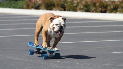 tillman-bulldog1